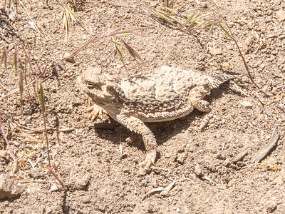 A horned lizards camouflage keeps it well hidden from predators.