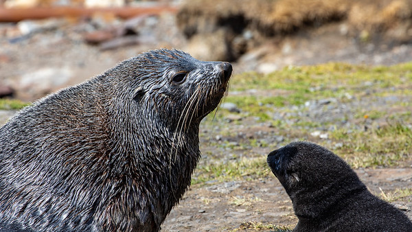 A mother fur seal and her pup.