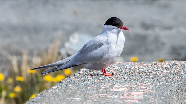 Arctic Tern,  South Georgia
