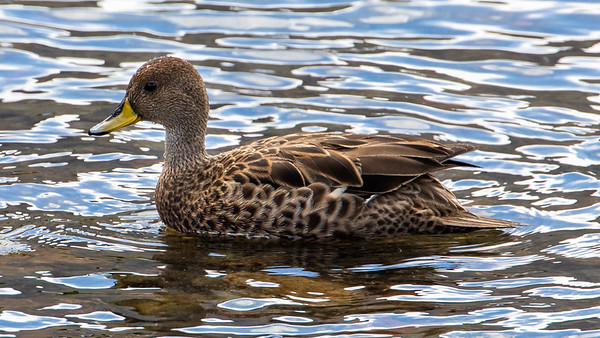 A very rare and endangered duck, the South Georgia Pintail.  These birds were on the verge of extinction only a few years ago.  With no natural land predators, invasive rats that had come on the whaling ships would feast on the eggs and newly born chicks.