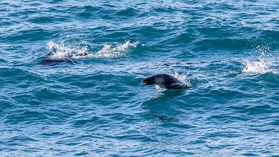 Fur seals, South Georgia