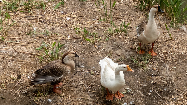 A few geese biding their time before they become someones dinner.