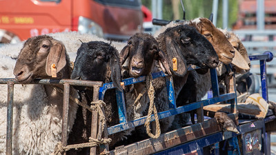 Sheep arriving at the Kashgar Sunday livestock market.