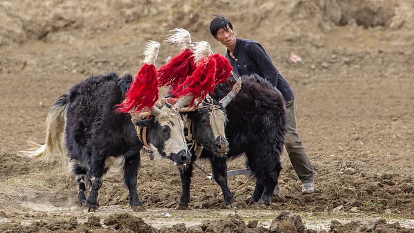 When yaks are used for farm animals they were brightly decorated for their work day in the fields.