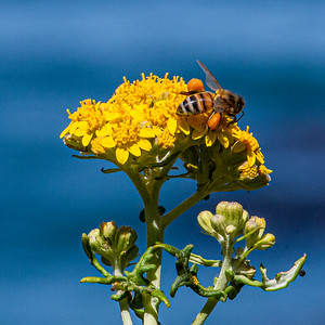 California Goldenrod with pollinating honey bee, Monterey Bay California