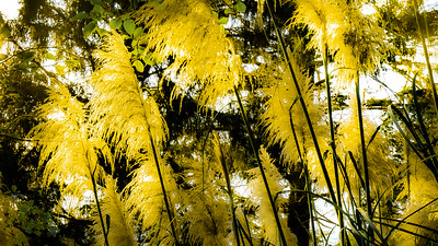 Pampas Grass, Patrick's Point State Park, California