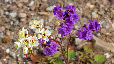 Brown-Eyed Evening Primrose and Blue Phacelia, Death Valley National Park