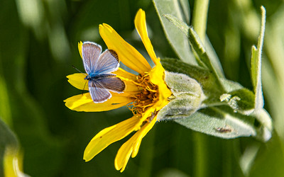 Mule Ear with a Boisduval's Blue butterfly, Taylor Creek area, Lake Tahoe California.