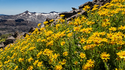 Arnica on Mt. Talac with the Crystal Range in the background, Desolation Wilderness Area, California