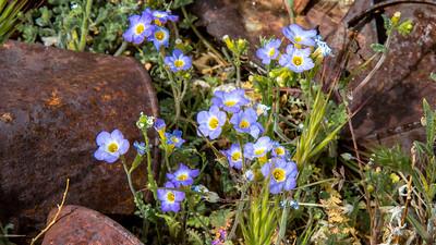 Fremont's Phacelia,  Ryolite Nevada