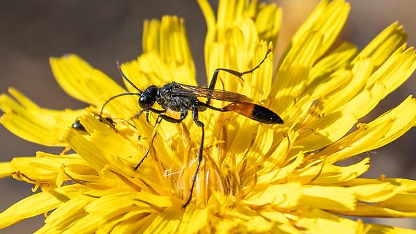Meadow Hawksbeard with Common thread waisted wasp, Medicine Bow, WY