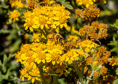 California Goldenrod, Monterey Bay California