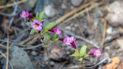 Little Purple Monkeyflower, Taylor Creek area, Lake Tahoe California.