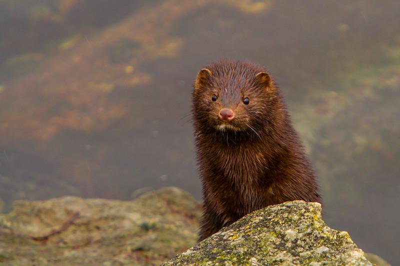 Mink, on the banks of Harfsfjord, Stavanger.