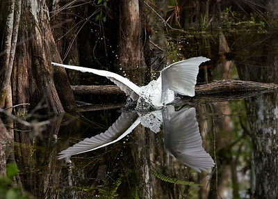 Big Cypress National Preserve, Florida, Great Egret, Loop Road, Ochopee