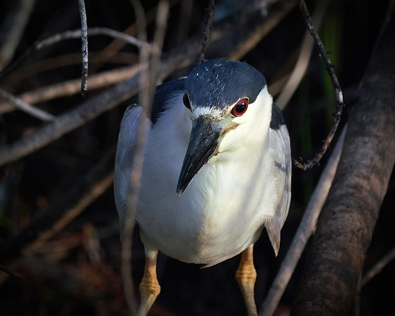 Big Cypress National Preserve, Black-crowned Night Heron, Florida, Loop Road, Ochopee