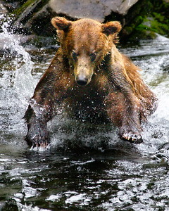 Alaska, Anan Wildlife Observatory, Brown (Grizzley) Bear, Photo, Tongass National Forest, Wrangell