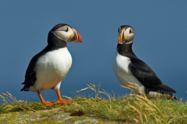 Atlantic Puffin, Elliston, Newfoundland