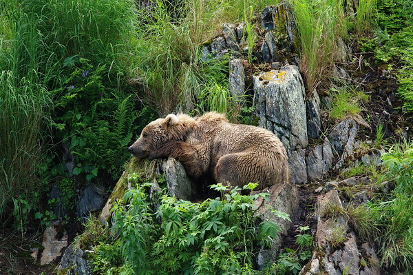 Alaska, Brown (Grizzley) Bear, Kodiak Island, Kodiak National Wildlife Refuge- Fraser Lake
