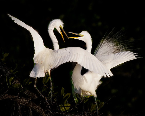 Bird Island, Florida, Great Egret, Mud Cove, Port St Lucie, Runner Up, St Lucie River