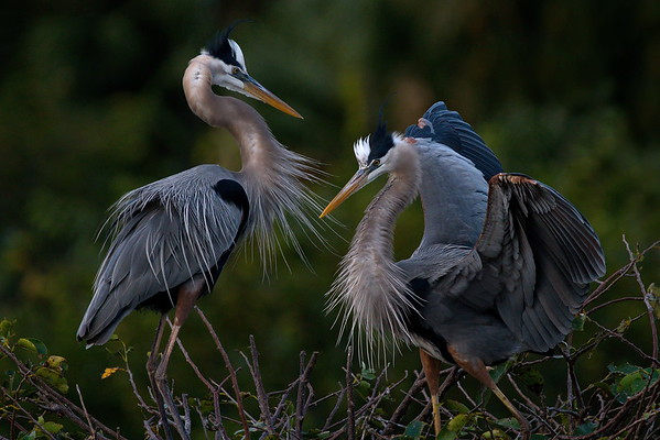 Delray Beach, Florida, Great Blue Heron, Wakodahatchee Wetlands
