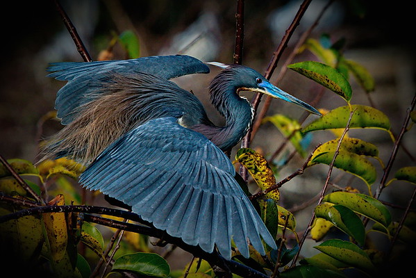 Delray Beach, Florida, Runner Up, Tricolored Heron, Wakodahatchee Wetlands