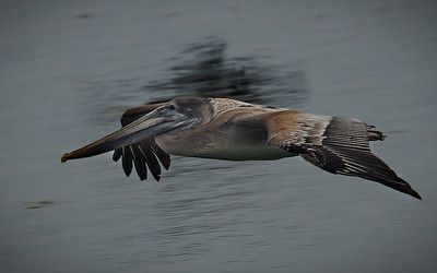 Brown Pelican, Florida, Key West