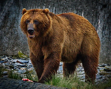 Alaska, Brown (Grizzley) Bear, Port Valdez, Prince William Sound, Runner Up, Valdez