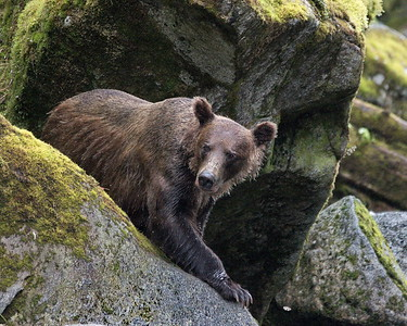 Alaska, Anan Wildlife Observatory, Brown (Grizzley) Bear, Tongass National Forest, Wrangell