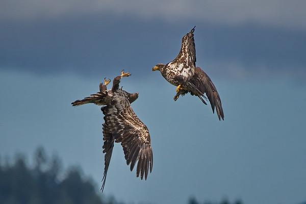Bald Eagle, Seabeck, Washington