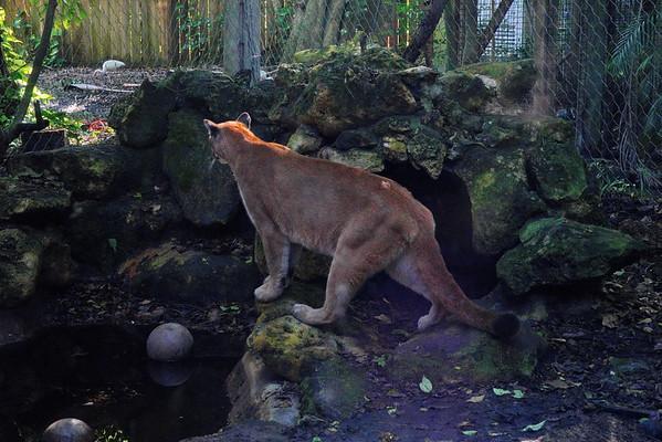 Florida, Florida Panther, Palm Beach Zoo, West Palm Beach
