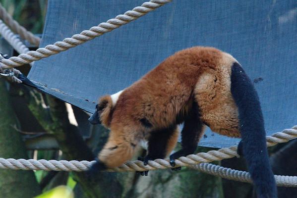 Florida, Lemur, Palm Beach Zoo, West Palm Beach
