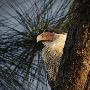 Crested Caracara, Florida