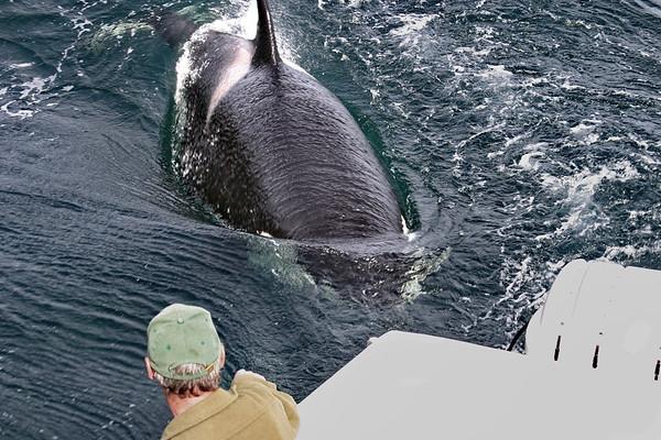 Killer Whale- Orca, L'Anse Aux Meadows, Newfoundland