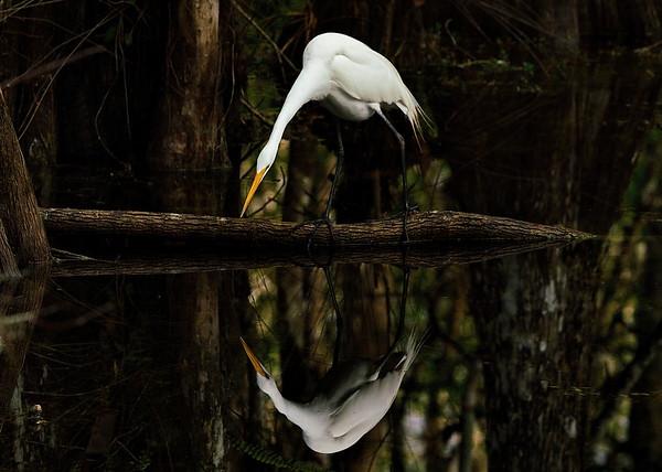 Big Cypress National Preserve, Everglades National Park, Florida, Great Egret, Loop Road, Ochopee