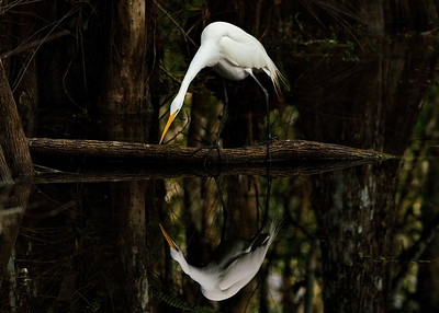 Big Cypress National Preserve, Everglades National Park, Florida, Great Egret, Loop Road, Ochopee