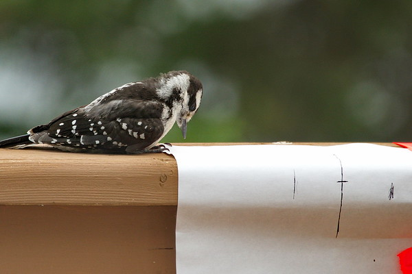 Downy Woodpecker, Humber Valley Resort, Newfoundland