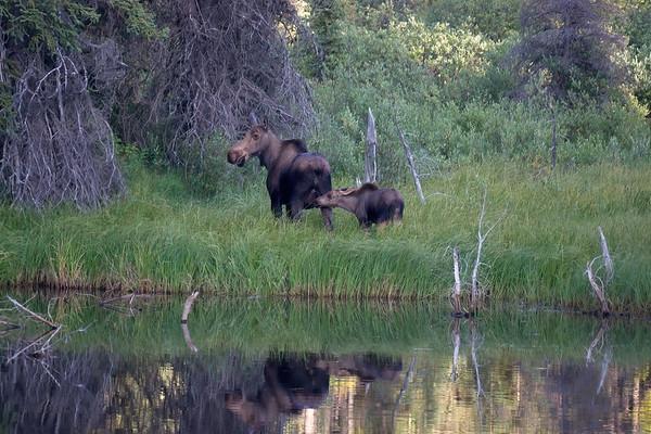 British Columbia, Cassiar Hwy, Moose, North of Iskut