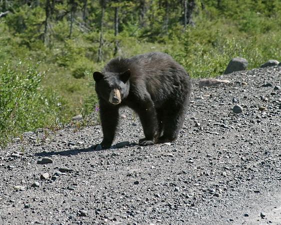 Black Bear, Labrador, Labrador City