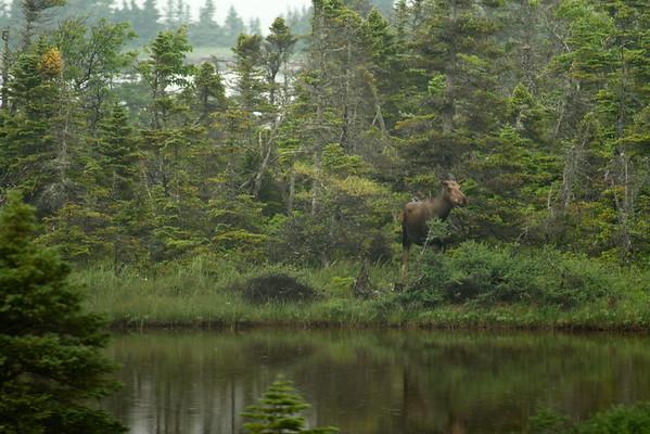 Moose, Newfoundland, Route 430 Near St Anthony, St Anthony