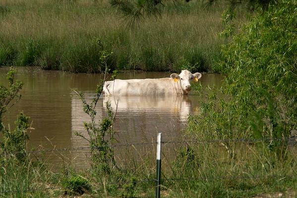 Alabama, Cattle, Haleyville