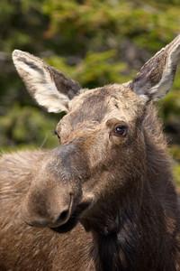 Gros Morne National Park, Moose, Newfoundland