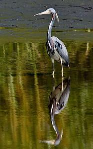 Florida, Lower Suwannee National Wildlife Refuge, Tricolored Heron