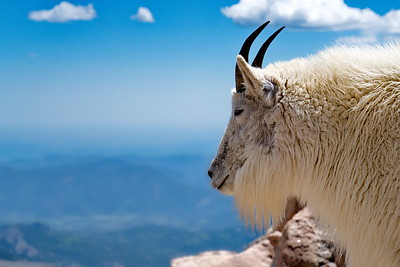 Colorado, Mount Evans Scenic Byway, Mountain Goat