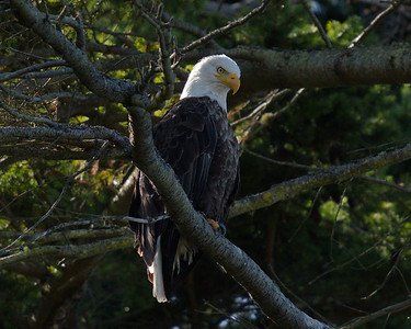 Bald Eagle, Fort Flagler Historical State Park, Marrowstone Island, Washington