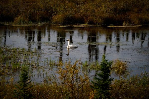Alaska Highway 1, Beaver Creek, Trumpeter Swan, Yukon
