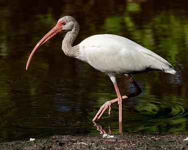 Florida, Hutchinson Island, White Ibis