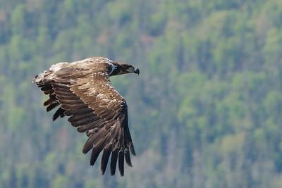 Bald Eagle, Gros Morne National Park, Newfoundland