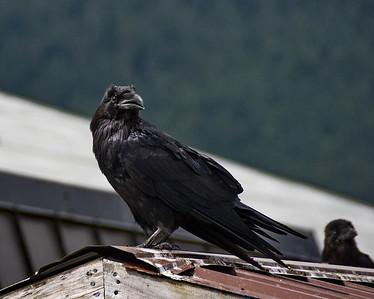 Alaska, Common Raven, Juneau