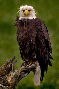 Alaska, Bald Eagle, Homer, Homer Spit
